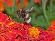Vuelo del abejorro Imagen de archivo libre de regalías