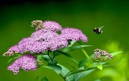 Vuelo del abejorro Fotografía de archivo libre de regalías
