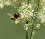 Vuelo del abejorro Imagen de archivo