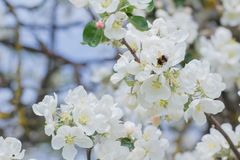 Vuelo del abejorro alrededor de las flores blancas y de los brotes del manzano del jardín Foto de archivo libre de regalías