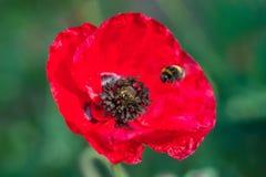 Vuelo del abejorro en la flor roja de la amapola Cierre para arriba Foco aislado Imagen de archivo libre de regalías