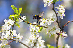 Vuelo del abejorro entre las flores del ciruelo Imagen de archivo libre de regalías