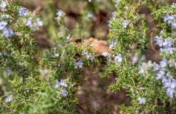 Vuelo del abejorro entre las plantas de la lavanda en primavera foto de archivo