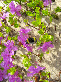 Vuelo del abejorro entre ledum Imágenes de archivo libres de regalías