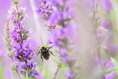 Vuelo del abejorro hacia cámara entre las flores púrpuras imagenes de archivo