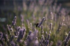 Vuelo del abejorro que vuela sobre la lavanda Imagen de archivo