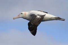 Vuelo del albatros que vaga contra el cielo azul 1 Foto de archivo libre de regalías