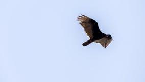 Vuelo del buitre de Turquía, Merritt Island National Wildlife Refuge, Fotos de archivo libres de regalías