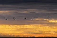 Vuelo del carbón del Phalacrocorax de los cormoranes contra el cielo nublado dramático foto de archivo libre de regalías