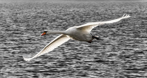 Vuelo del cisne imagen de archivo