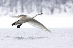 Vuelo del cisne de trompetista sobre el río fotografía de archivo libre de regalías
