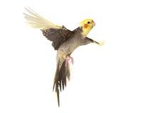 Vuelo del Cockatiel en estudio Fotos de archivo libres de regalías