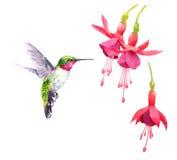 Vuelo del colibrí alrededor de la mano del ejemplo del pájaro de la acuarela de las flores dibujada stock de ilustración
