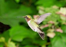 Vuelo del colibrí en el jardín Imagen de archivo
