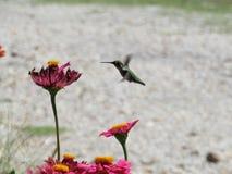 Vuelo del colibrí foto de archivo