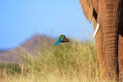 Vuelo del comedor de abeja cerca de un elefante en el samburu Fotografía de archivo