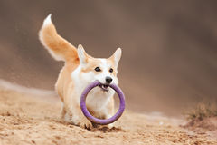 Vuelo del Corgi Galés del perro Fotografía de archivo