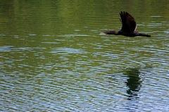 Vuelo del cormorán a lo largo del agua Foto de archivo libre de regalías