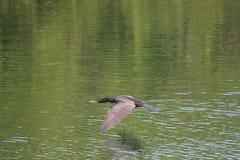 Vuelo del cormorán a lo largo del agua Imagenes de archivo