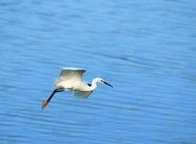 Vuelo del Egret Fotos de archivo libres de regalías