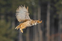 Vuelo del este de Eagle Owl del siberiano en invierno Búho hermoso de Rusia que vuela sobre campo nevoso Escena del invierno con  Fotos de archivo libres de regalías
