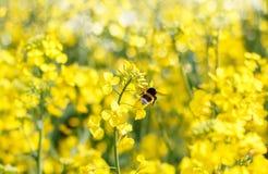 Vuelo del forraje del abejorro Imagenes de archivo