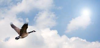 Vuelo del ganso Foto de archivo libre de regalías