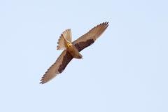 Vuelo del halcón Fotografía de archivo libre de regalías