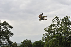 Vuelo del halcón Fotografía de archivo