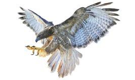 Vuelo del halcón Imagen de archivo