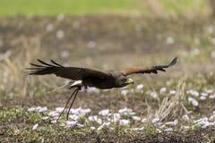 Vuelo del halcón del ` s de Harris en naturaleza Fotos de archivo