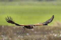 Vuelo del halcón del ` s de Harris en naturaleza Fotos de archivo libres de regalías