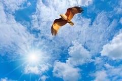 Vuelo del halcón en el cielo Fotos de archivo
