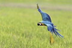 Vuelo del loro de la belleza en campo del arroz Foto de archivo libre de regalías