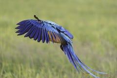 Vuelo del loro de la belleza en el campo del arroz, acción Fotos de archivo libres de regalías
