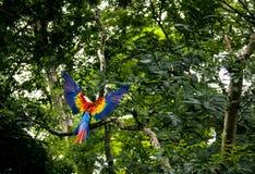 Vuelo del Macaw del escarlata - Copan, Honduras fotos de archivo