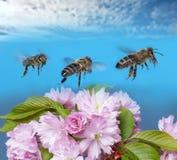 Vuelo del mellifera de los apis de las abejas en el cielo azul Imagen de archivo