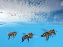Vuelo del mellifera de tres apis de las abejas Fotos de archivo