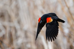Vuelo del mirlo de alas rojas Foto de archivo libre de regalías