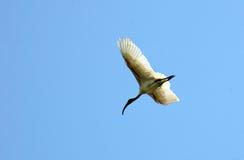 Vuelo del pájaro Fotos de archivo libres de regalías
