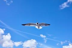 Vuelo del pájaro de la gaviota en el cielo azul Foto de archivo