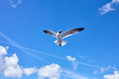 Vuelo del pájaro de la gaviota en el cielo azul Imagen de archivo