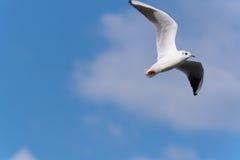 Vuelo del pájaro de mar fotos de archivo