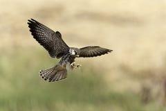 Vuelo del pájaro del cazador en naturaleza Fotografía de archivo