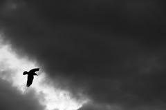 Vuelo del pájaro del cuervo en la noche imagen de archivo libre de regalías