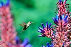 Vuelo del pájaro del tarareo alrededor de las flores del áloe imagenes de archivo