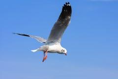Vuelo del pájaro en cielo azul Fotografía de archivo libre de regalías