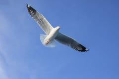 Vuelo del pájaro en cielo azul Fotos de archivo