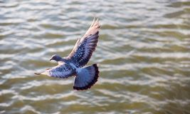 Vuelo del pájaro en el agua en la puesta del sol Imagenes de archivo