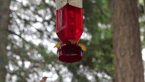 Vuelo del pájaro del tarareo debajo del alimentador almacen de video